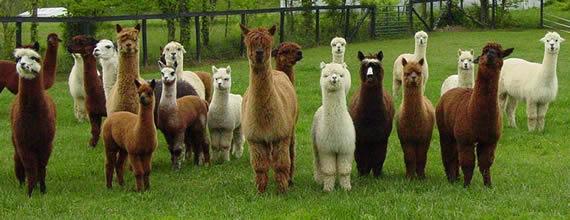 the_herd